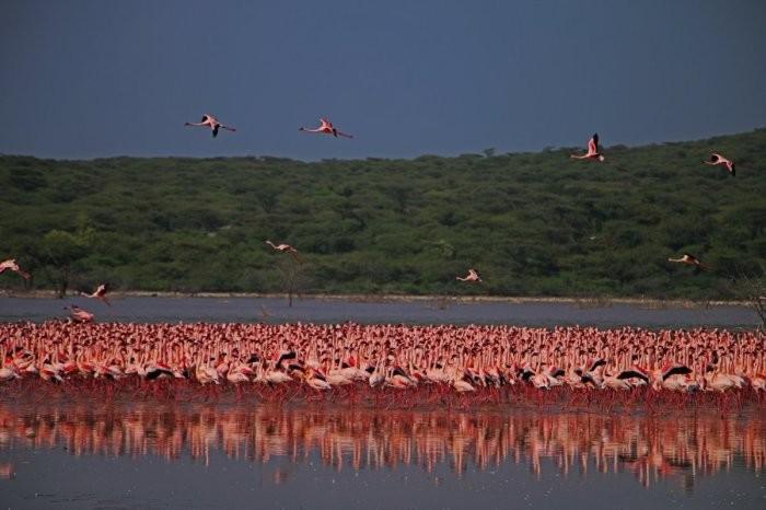 Озеро Богория: место, где можно увидеть около 2 милл фламинго (8 фото)