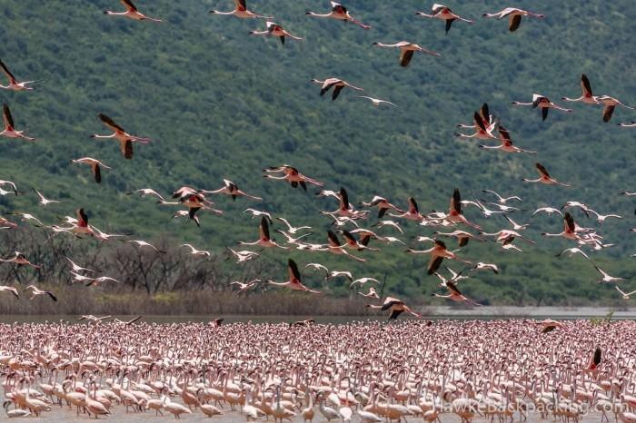 Озеро Богория: место, где можно увидеть около 2 миллионов фламинго (8 фото)
