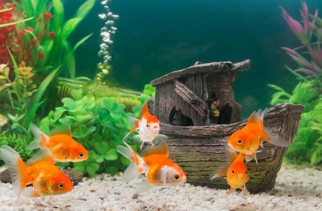 Могут ли аквариумные рыбки выжить в обычном пруду? (2 фото)
