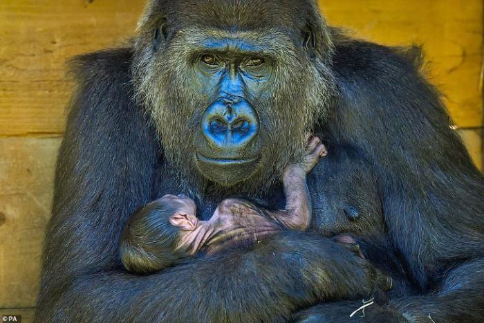 Фотографии новорожденной гориллы и ее мамы (8 фото)