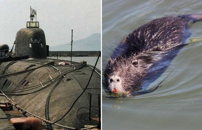 Крысы на советских субмаринах: как с ними боролись (5 фото)