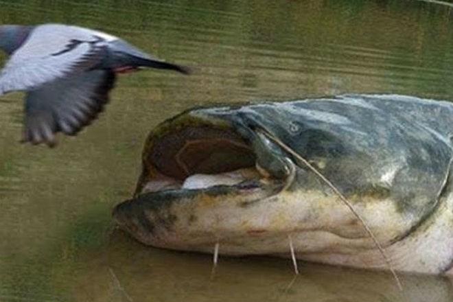 Как охотятся сомы из-под воды (2 фото)