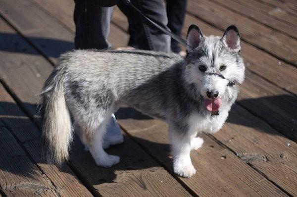 Корги бывают разные: как будут выглядеть собаки разных пород, если смешать их с корги (20 фото)