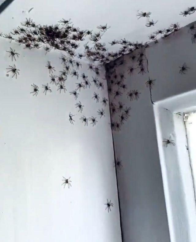 Теперь это наш дом: комнату женщины из Сиднея заполонили смертоносные пауки-охотники (4 фото)