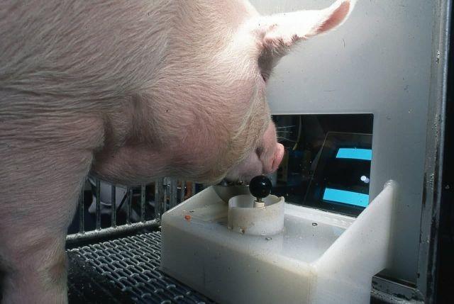 Ученые из США научили свиней играть в видеоигры (3 фото)