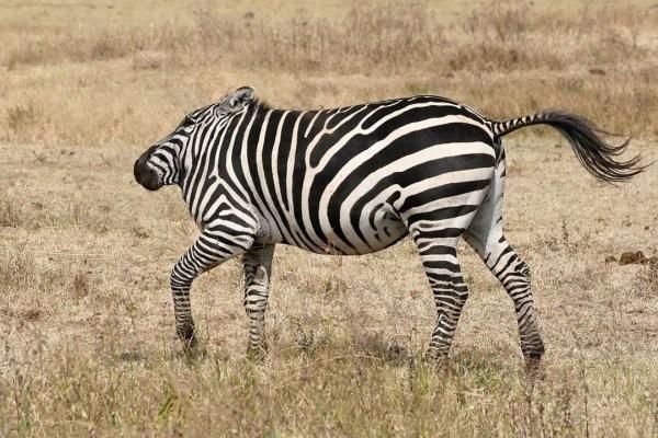 Немного странного юмора: как бы выглядели животные, не будь у них шеи (15 фото)