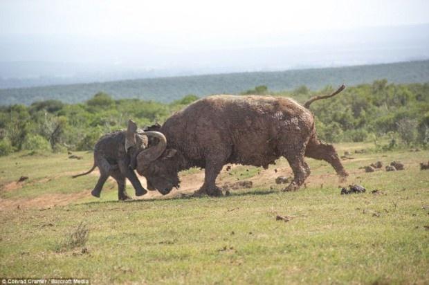 Как слоненок решил поиграть с быком (8 фото)