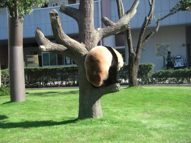 Панда притворилась беременной, чтобы получать больше внимания, фруктов и булочек (3 фото)