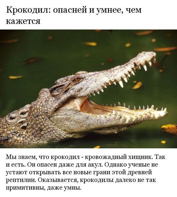 Неизвестные до этого факты о крокодилах (8 фото)