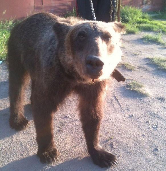 Медведи гуляют по улицам России (18 фото)