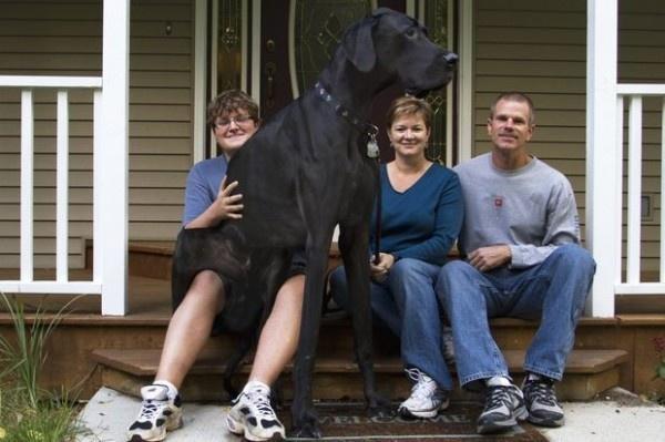 Умерла самая высокая собака в мире (8 фото)
