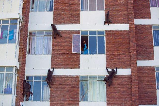 Обезьяны-разбойники из Африки (5 фото)