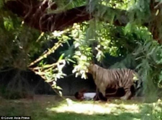 Белый тигр загрыз подростка в зоопарке Индии (7 фото)