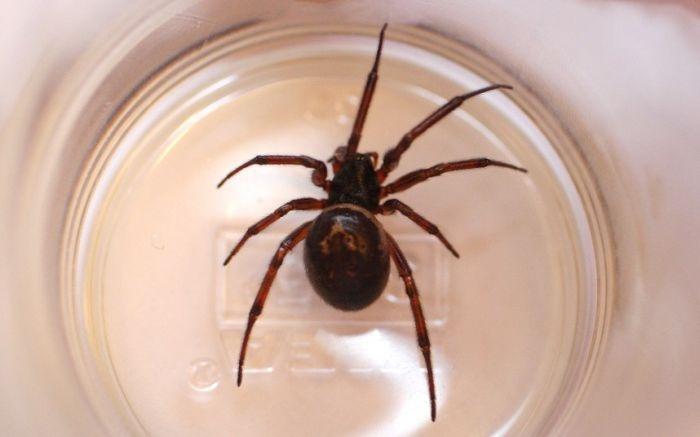 """Последствия укуса паука """"ложная черная вдова"""" (5 фото)"""