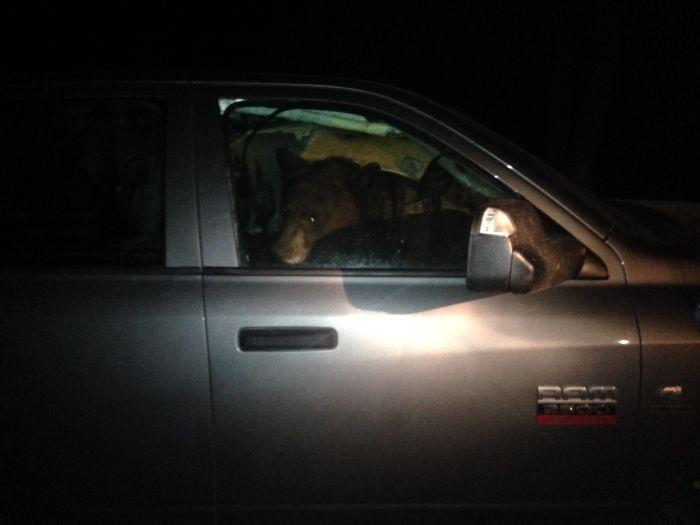 Как медведица и медвежонок переночевали в машине (4 фото)