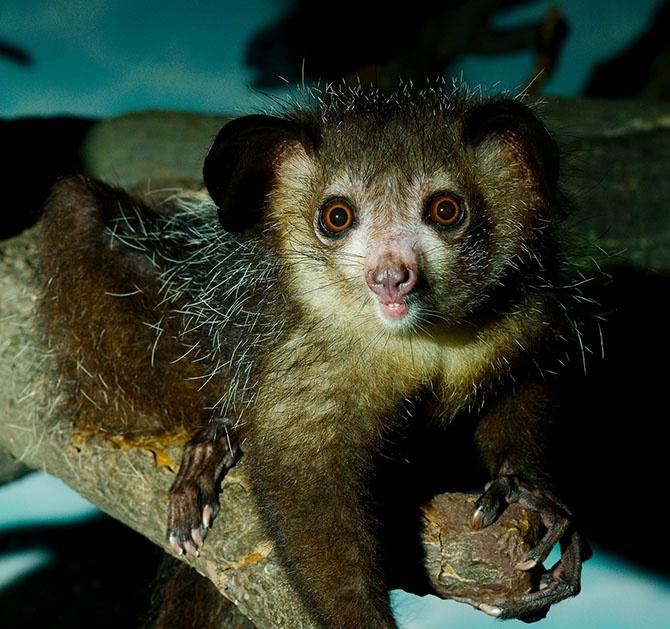 Животные-эндемики Мадагаскара (20 фото)