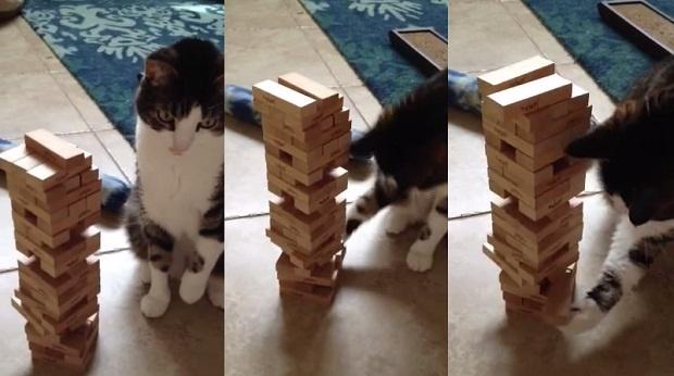 Очень серьезный кот играет в дженгу (1 фото + 1 видео)
