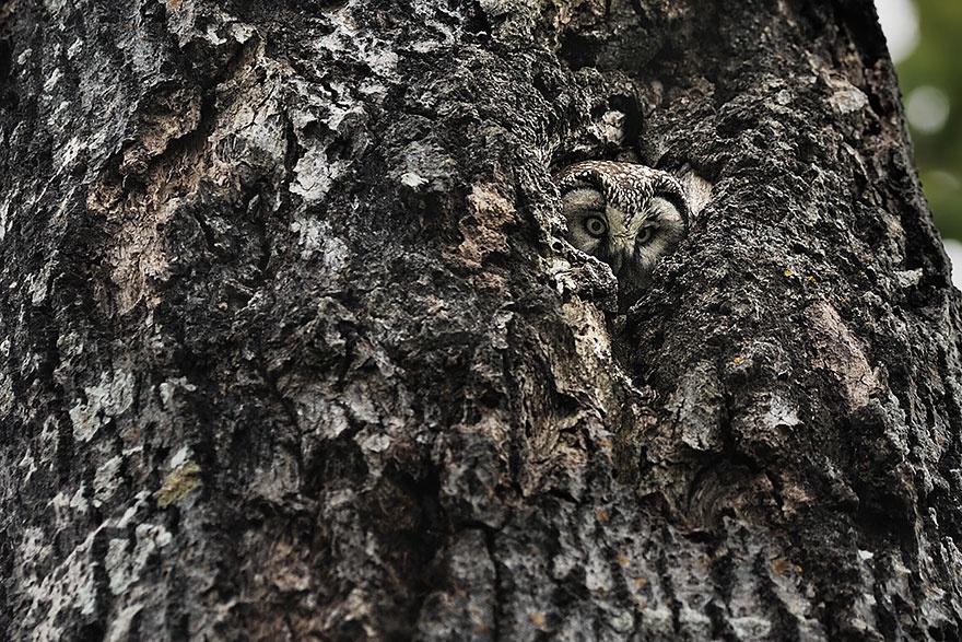 Совы – мастера камуфляжа (16 фото)