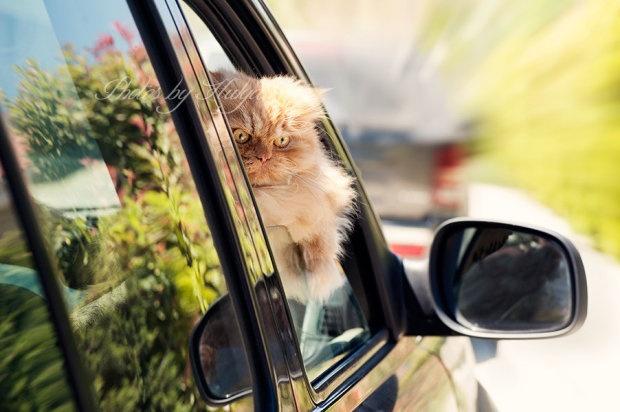 Новая звезда Гарфи, самый злой в мире кот (10 фото)