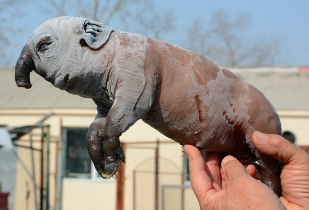 В Китае родился поросенок-мутант с хоботом как у слона (2 фото)