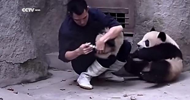 Сотрудник китайского зоопарка пытается дать лекарство игривым пандам (1 фото + 1 видео)