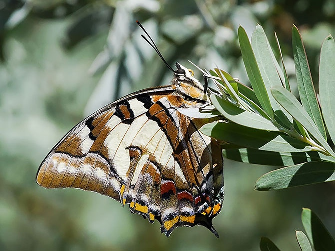 Удивительное превращение гусениц в бабочек (39 фото)