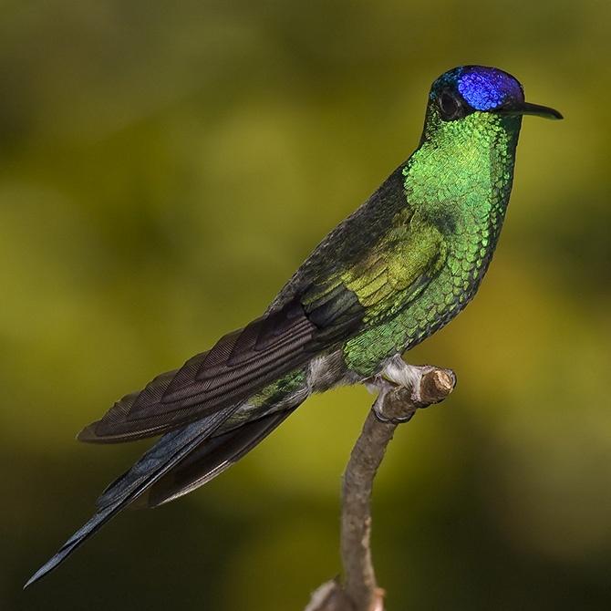 Самые красивые виды колибри (15 фото + видео)