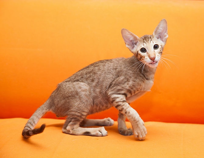 Рейтинг самых красивых пород кошек (12 фото)