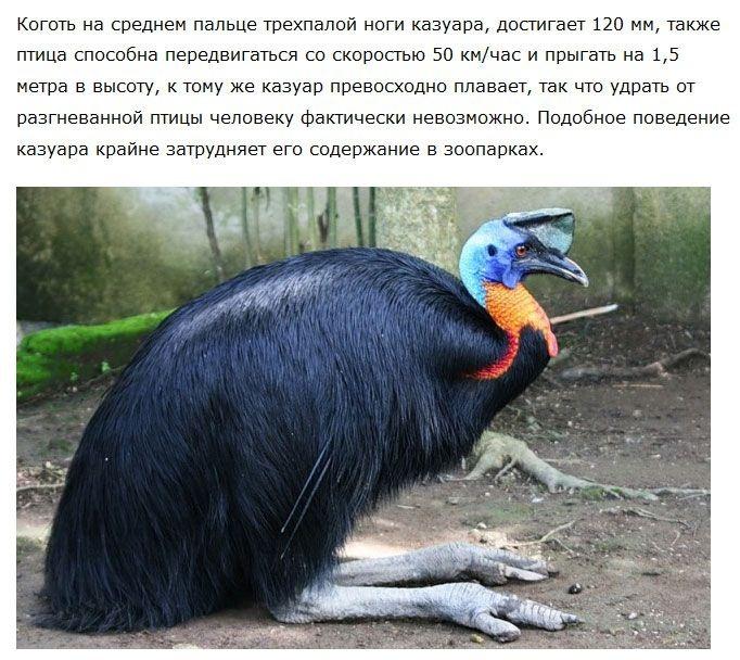 Агрессивная птица, которой не стоит попадаться на пути (5 фото)