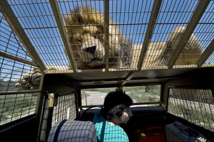 Чилийский зоопарк Safari Lion Zoo, в котором все наоборот (14 фото)