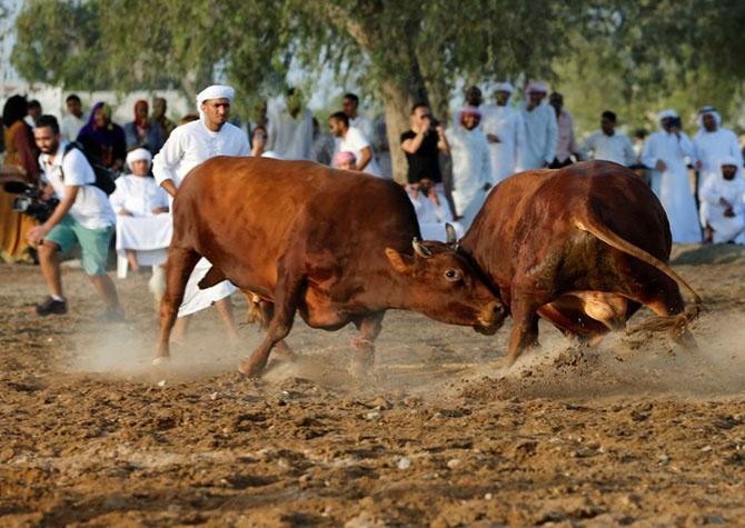 Как проходит коррида в Объединенных Арабских Эмиратах (19 фото)