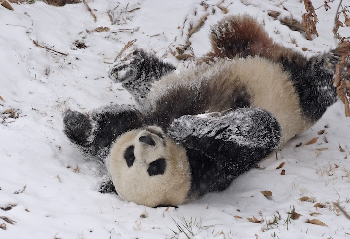 Некоторые животные любят снег (20 фото)