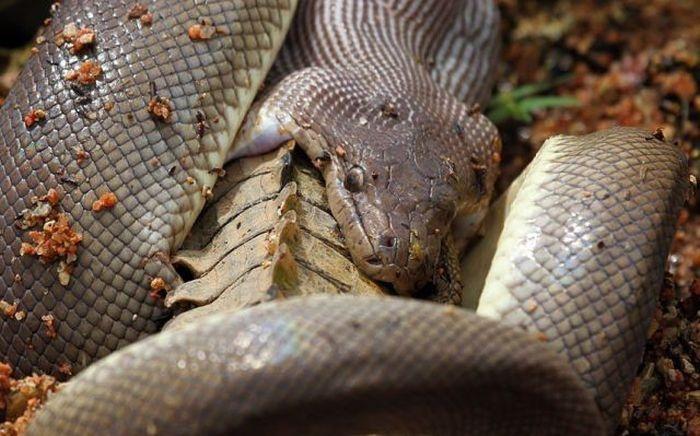Как змея пообедала крокодилом (19 фото)