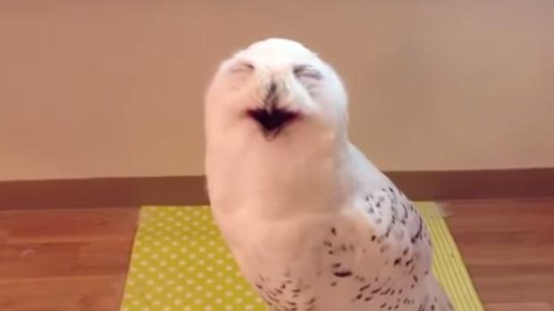 Счастливая сова (1 фото + 1 видео)