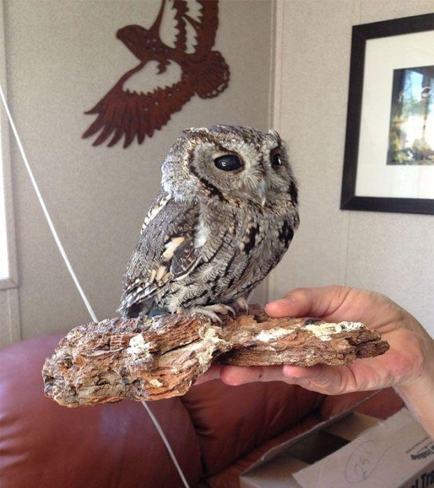Южная Калифорния: найдена сова с «космосом» в глазах