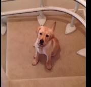 Лучший способ спуститься по лестнице от щенка лабрадора (1 фото + 1 видео)