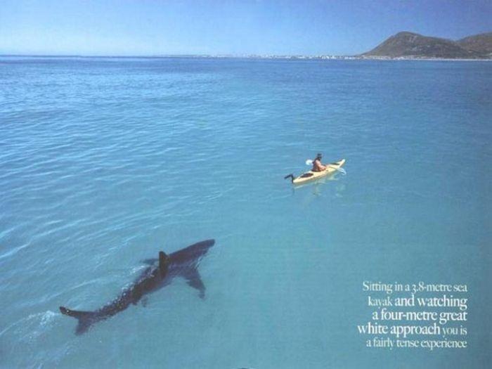 Австралия: белая акула с благими намерениями преследует рыбака (4 фото)