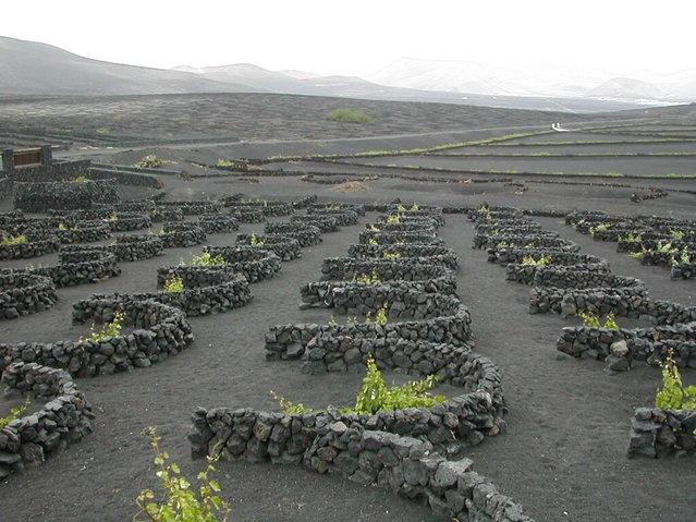 Вулканические виноградники на острове Лансароте (16 фото)