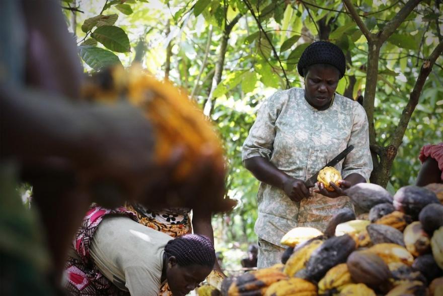 Как женщины в Африке выращивают какао (12 фото)