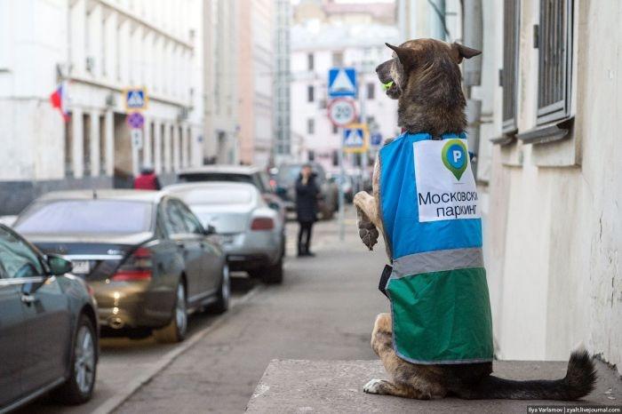 Москва: ряды парковочной полиции пополнятся специально обученными собаками (24 фото)