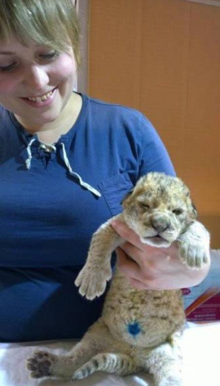 Иркутск: пополнение в львиной семье (6 фото)