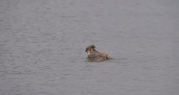 Сова на воде: не летать, так плавать (1 фото + 1 видео)
