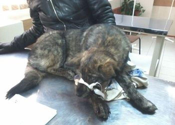 Благодаря дальнобойщику под Благовещенском спасена собака с перебитыми задними лапами (5 фото)