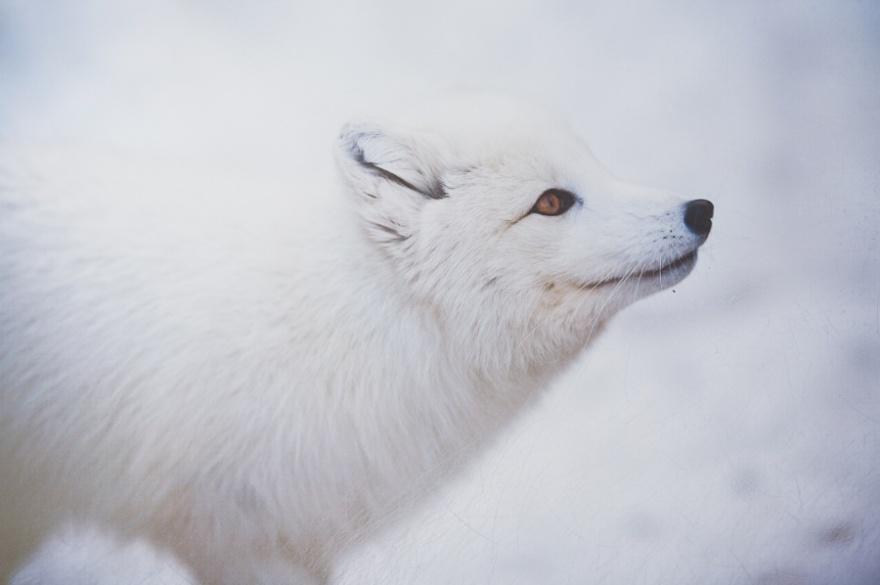 Очаровательные лисы (25 фото)