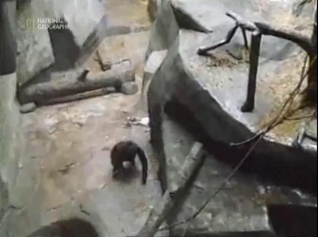 Ребенок упал в вольер с гориллами (1 фото + 1 видео)