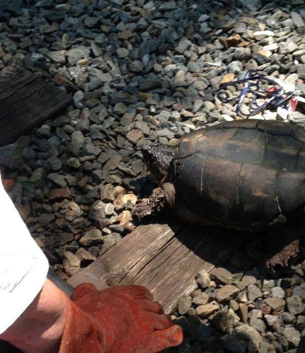Фотоотчет о спасении черепахи, застрявшей на железнодорожных путях (6 фото)