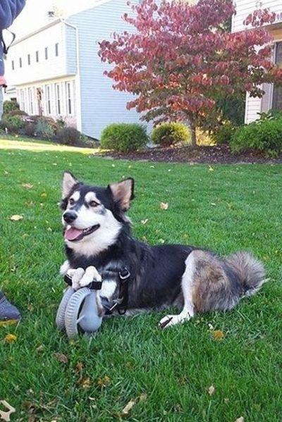 Собака-инвалид Дерби получила 3D протезы (7 фото + 1 гифка)