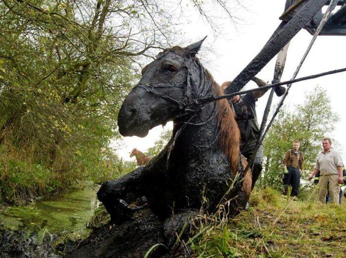 Спасена лошадь из болота добрыми людьми (7 фото)