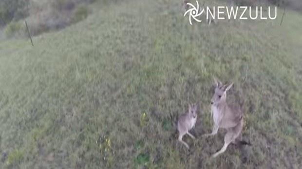 Кенгуру сбила раздражавший ее беспилотник (1 фото + 1 видео)