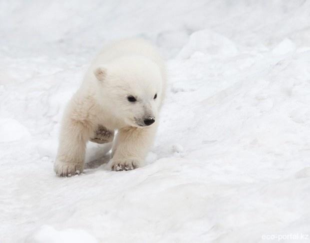 Полярный медвежонок впервые видит снег (2 фото + 1 видео)